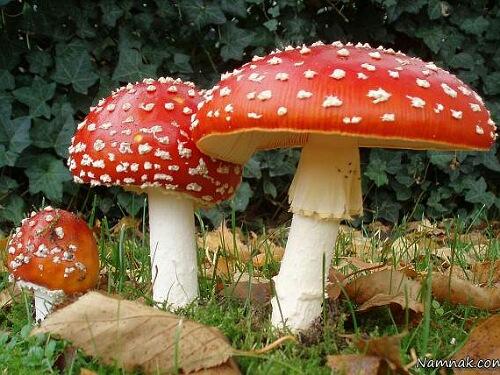 یک نمونه قارچ سمی